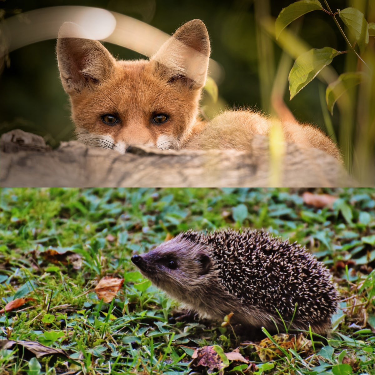 Fox and the hedgehog - Good to Great by Jim Collins